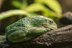 Mexican dumpy tree frog Royalty Free Stock Photos