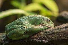 Mexican dumpy tree frog. (Pachymedusa dacnicolor Royalty Free Stock Photos