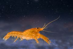 Mexican dwarf orange crayfish Royalty Free Stock Photos