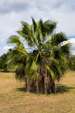 Mexican fan palm tree Royalty Free Stock Photo