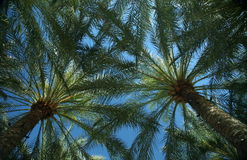 Mexican Fan Palms Against Blue Sky Stock Photography