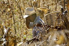 Mexican farmer in corn field. Mexican farmer with basket collecting corn cobs royalty free stock images