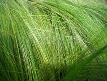 Mexican feather grass. Digital macro, vivid of some very fine textured grass stock image