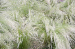 Mexican Feather Grass Royalty Free Stock Photography