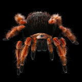 Mexican fire-leg tarantula Stock Photos