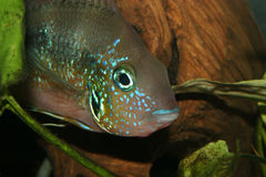 Mexican Fire Mouth (Thorichthys aureus). Male Royalty Free Stock Photography