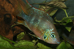 Mexican Fire Mouth (Thorichthys aureus). Male Stock Photography
