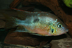 Mexican Fire Mouth (Thorichthys aureus). Male Stock Photos