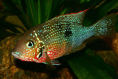 Mexican Fire Mouth (Thorichthys ellioti) Royalty Free Stock Images