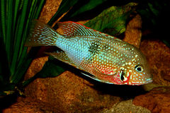 Mexican Fire Mouth (Thorichthys ellioti) Stock Images