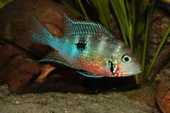 Mexican Fire Mouth (Thorichthys ellioti) Royalty Free Stock Image