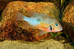 Mexican Fire Mouth Thorichthys ellioti Stock Image