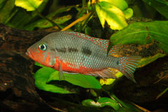 Mexican Fire Mouth (Thorichthys meeki) Royalty Free Stock Photos