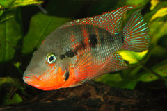 Mexican Fire Mouth (Thorichthys meeki) Stock Images
