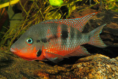 Mexican Fire Mouth (Thorichthys meeki) Stock Photography