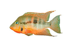 Mexican Fire Mouth Thorichthys meeki Stock Images