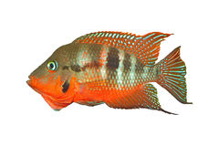 Mexican Fire Mouth Thorichthys meeki Stock Photography