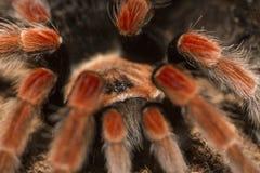 Mexican Fireleg Tarantula Royalty Free Stock Photo