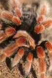 Mexican Fireleg Tarantula Stock Photos