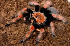 Mexican Fireleg tarantula(Brachypelma boehmei) Stock Photography