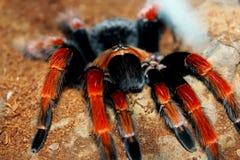 Mexican Fireleg Tarantula, Mexican Rustleg Tarantula Stock Images