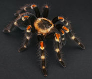 The Mexican Flame Knee. The Brachypelma auratum (also called Mexican Flame knee Royalty Free Stock Images