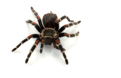 Mexican Flame Knee Tarantula. (Brachypelma auratum) isolated on white background Royalty Free Stock Images
