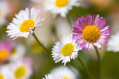 Mexican fleabane (Erigeron karvinskianus) in flower. Pink and white flowers of plant in the daisy family (Asteraceae), a recent colonist of Britain's coastline Stock Photography