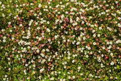 Mexican fleabane flowers. Profuse pink and white Mexican fleabane flowers full frame background Royalty Free Stock Photos