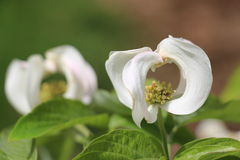 Mexican flowering dogwood Cornus florida ssp urbaniana 2 Royalty Free Stock Photography
