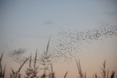 Mexican free tail bats in a Z formation at dusk at the Yolo Bypass Wildlife Area Davis CA stock photo