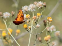 Mexican Fritillary on Yellow Flowers Stock Images