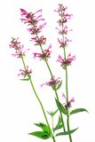 Mexican giant hyssop (Agastache mexicana). Mexican giant hyssop (Agastache mexicana, Syn Cedronella mexicana), flowering plant isolated in front of white royalty free stock photo