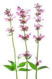 Mexican giant hyssop (Agastache mexicana) stock photo