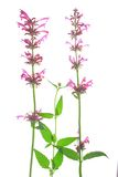 Mexican giant hyssop (Agastache mexicana). Mexican giant hyssop (Agastache mexicana, Syn Cedronella mexicana), flowering plant isolated in front of white stock photography