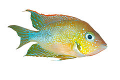 Mexican gold cichlid Thorichthys aureus Royalty Free Stock Photography