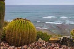 Mexican Golden Barrel Cactus royalty free stock photos