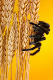 The Mexican Golden Red Rump Tarantula wait on a dry wheat. Stock Photo