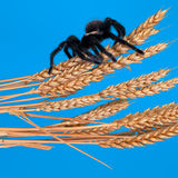 The Mexican Golden Red Rump Tarantula wait on a dry wheat. Royalty Free Stock Images