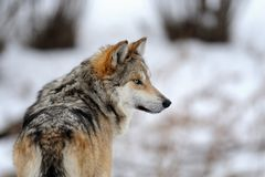 Mexican gray wolf royalty free stock photos