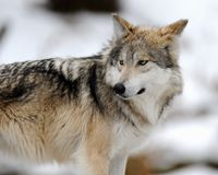 Mexican gray wolf (Canis lupus baileyi) Stock Images