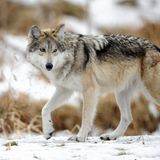 Mexican gray wolf (Canis lupus baileyi) Royalty Free Stock Image