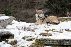 Mexican gray wolf (Canis lupus baileyi) Stock Image