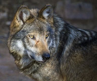 Mexican gray wolf Canis lupus baileyi stock photography