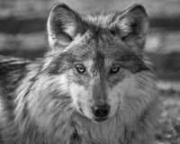 Mexican gray wolf closeup portrait stock images