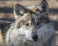 Mexican gray wolf closeup portrait. With cocked head Stock Image