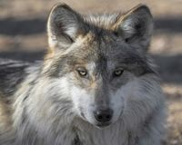Mexican gray wolf closeup portrait. With raised ears Royalty Free Stock Image