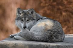 Mexican gray wolf full body portrait. During autumn Royalty Free Stock Photo