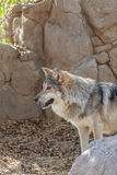Mexican Gray Wolf Stock Images