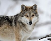 Mexican gray wolf portrait Stock Photo